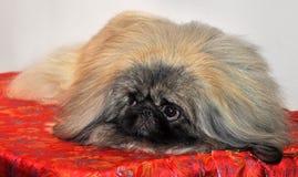 Cão do pequinês imagens de stock