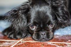 Cão do pequinês Imagem de Stock Royalty Free