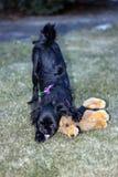 Cão do pequinês Fotos de Stock