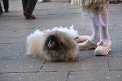 Cão do pequinês no carnaval de Veneza em Itália Foto de Stock Royalty Free