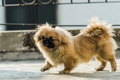 Cão do pequinês ou do leão Fotos de Stock Royalty Free