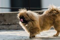 Cão do pequinês ou do leão com lambedura do nariz Foto de Stock Royalty Free