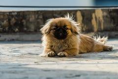 Cão do pequinês ou do leão que senta-se na terra Imagem de Stock