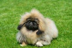 Cão do pequinês que está no campo verde Foto de Stock