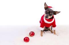 Cão do pincher do Natal que senta-se no tapete branco Fotografia de Stock Royalty Free