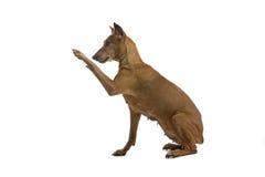 Cão do Pinscher Foto de Stock Royalty Free