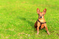 Cão do pinscher diminuto que senta-se na grama Foto de Stock Royalty Free