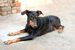 Cão do Pinscher do Doberman Fotografia de Stock