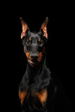 Cão do Pinscher do Doberman do close up que olha in camera no preto isolado Foto de Stock Royalty Free