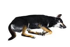 Cão do Pinscher do Doberman no fundo branco Copie o espaço Trajeto de grampeamento foto de stock royalty free