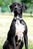 Cão do ponteiro Imagens de Stock