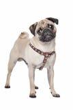 Cão do Pug Imagens de Stock