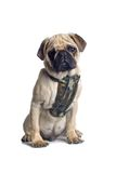 Cão do Pug fotografia de stock