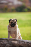 Cão do Pug bonito Imagens de Stock Royalty Free