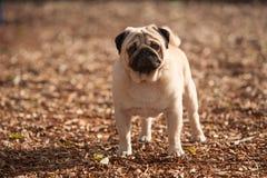 Cão do Pug bonito imagem de stock royalty free