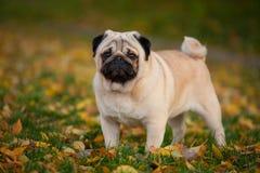 Cão do Pug bonito imagens de stock