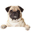 Cão do Pug com o bunner isolado no fundo branco trabalhos criativos para o projeto Foto de Stock Royalty Free