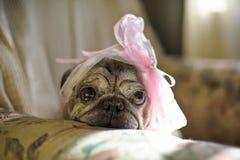 cão do pug com uma curva cor-de-rosa em sua cabeça fotografia de stock