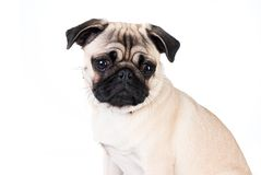 Cão do Pug isolado no fundo branco Imagem de Stock Royalty Free