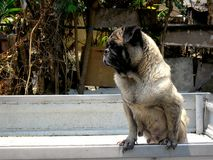 Cão do Pug na parte traseira de uma picareta acima do caminhão imagens de stock royalty free