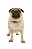 Cão do Pug no fundo branco Fotografia de Stock Royalty Free