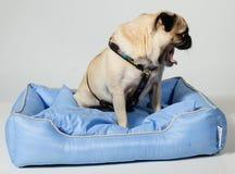 Cão do Pug que boceja Foto de Stock