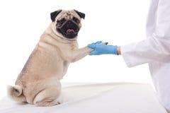 Cão do Pug que dá sua pata ao veterinário isolado no branco imagem de stock royalty free