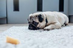 Cão do Pug que espera uma permissão comer o queijo na cozinha imagem de stock royalty free