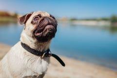 Cão do Pug que senta-se pelo rio Cachorrinho feliz que espera um comando do mestre Cão que olha acima fora foto de stock