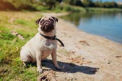 Cão do Pug que senta-se pelo rio Cachorrinho feliz que espera um comando do mestre Cão que refrigera fora imagem de stock