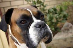 Cão do pugilista Fotografia de Stock