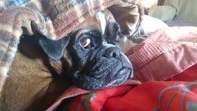 Cão do pugilista Imagem de Stock