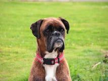 Cão do pugilista Imagens de Stock Royalty Free