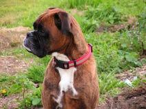 Cão do pugilista Imagens de Stock