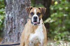 Cão do pugilista com cauda entrada foto de stock