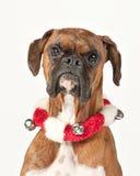 Cão do pugilista com o colar do feriado isolado no branco Fotografia de Stock Royalty Free