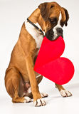 Cão do pugilista com um coração Imagem de Stock Royalty Free