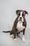 Cão do pugilista em um estúdio Fotografia de Stock