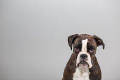 Cão do pugilista em um estúdio Fotos de Stock