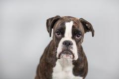 Cão do pugilista em um estúdio Fotografia de Stock Royalty Free