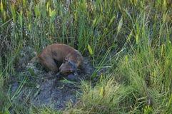 Cão do pugilista que corre no pântano Fotografia de Stock