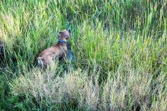 Cão do pugilista que corre no pântano Imagens de Stock Royalty Free