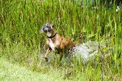 Cão do pugilista que corre no pântano Foto de Stock