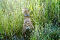 Cão do pugilista que corre no pântano Imagens de Stock