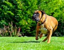 Cão do pugilista que funciona sobre a grama Foto de Stock Royalty Free