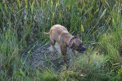 Cão do pugilista que pula no pântano Fotografia de Stock