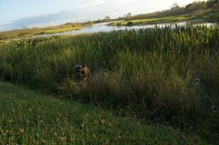 Cão do pugilista que pula no pântano Foto de Stock
