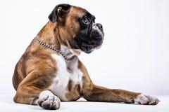 Cão do pugilista que senta e que olha a câmera imagens de stock