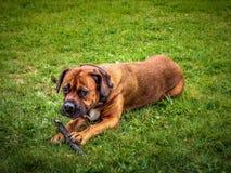 Cão do pugilista que senta-se na grama natural de um parque público fotografia de stock royalty free