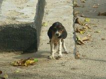 Cão do puro-sangue na queda nas etapas fotografia de stock